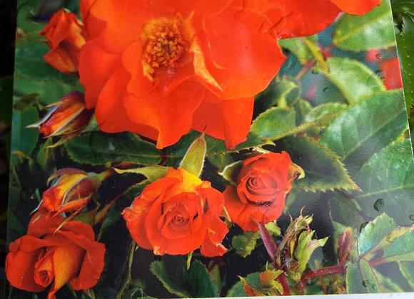 Bush Rose  - Afrikaans 20cm pot