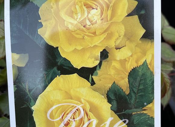 Bush Rose -  Friesia  20cm pot
