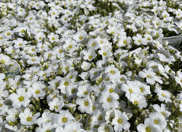 Arenaria -full of buds and flower 14cm pot