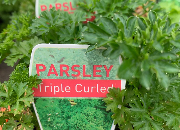 Parsley - Triple Curled 100mm pot