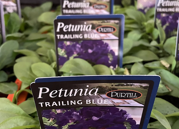 Petunia - Trailing Blue vigorous trailer 4 plants per punnet