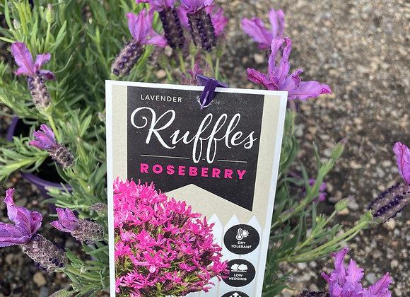 Lavender - Ruffles Roseberry 14cm pot PGA