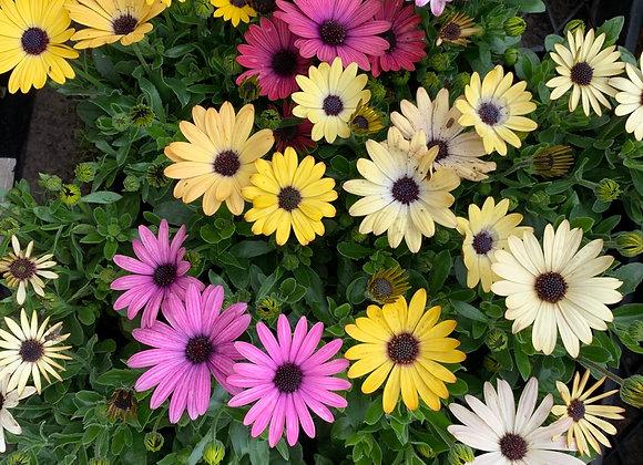 Osteospermum assorted - Bloomer Pots