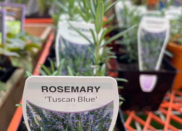 Rosemary  - Tuscan Blue 100mm square pot SEMI ADVANCED