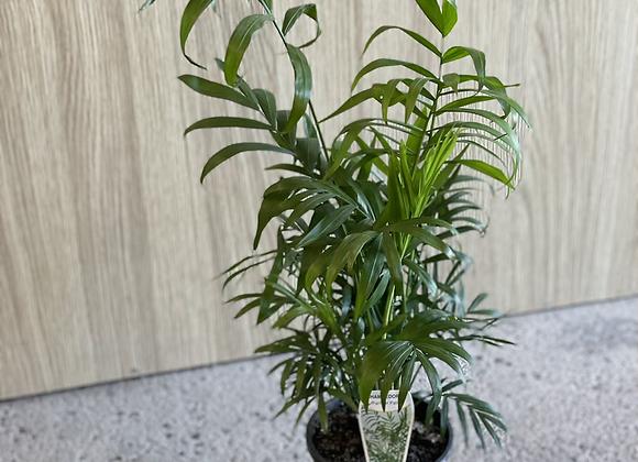 Palm-Parlour Palm