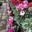 Thumbnail: Cyclamen-Ideal gift