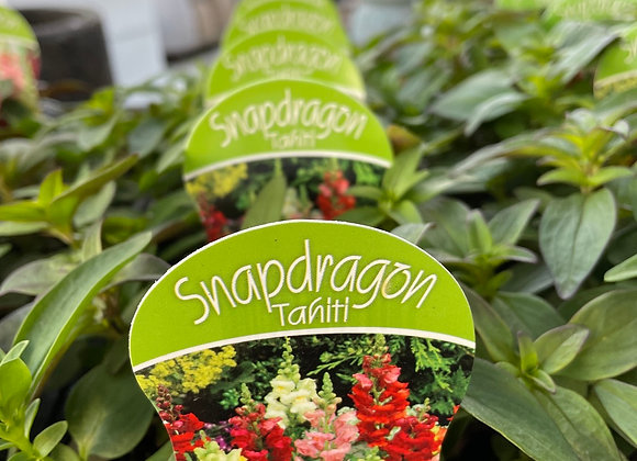 Snapdragon- Tahiti punnet
