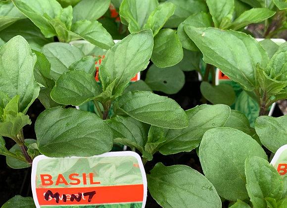 Mint - Basil Mint 100mm pot