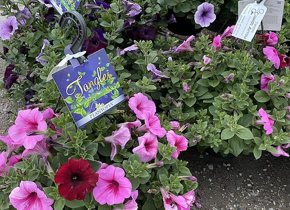 Petunia hanging basket nice and full of flower