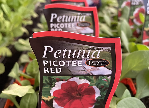 Petunia - Picotee Red punnet