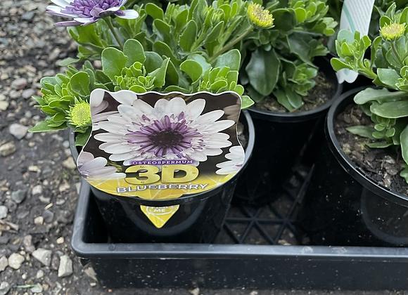 Osteospermum - 3D Blueberry14cm pot