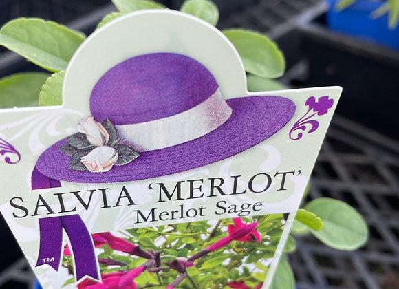 Salvia - Merlot  100mm pot SEMI ADVANCED