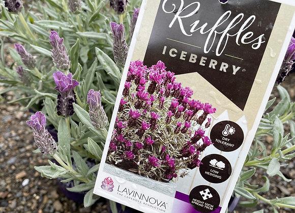 Lavender - Ruffles Iceberry 14cm pot