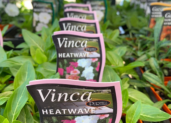 Vinca - Heatwave mixed punnet