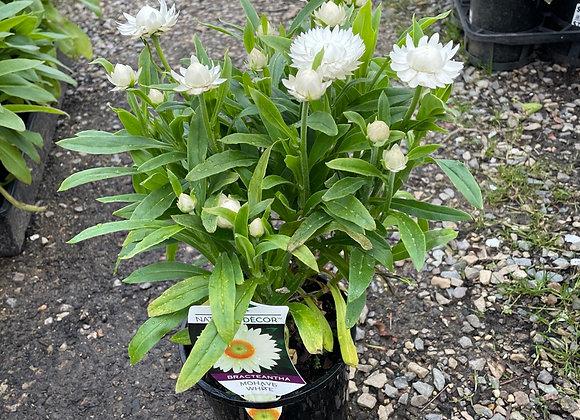 Bracteantha - Mohave White 14cm pot