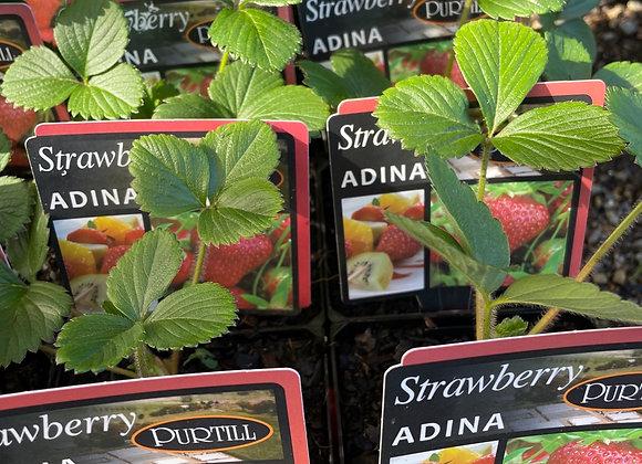 Strawberry - Adina ADVANCED
