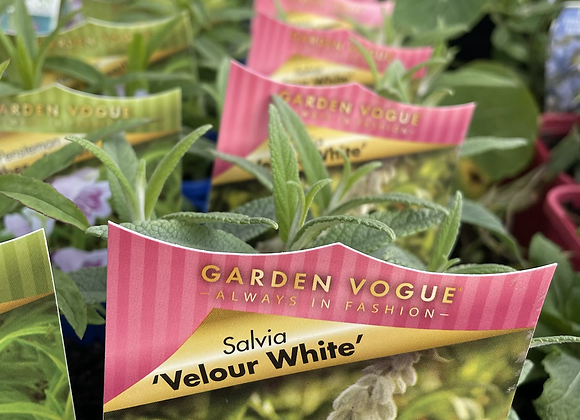Salvia - Velour White 100mm pot SEMI ADVANCED