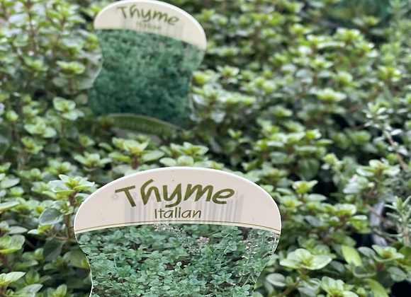 Thyme -  SUPER ADVANCED 200mm