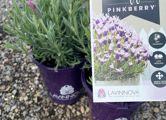 Lavender - Ruffles Pinkberry