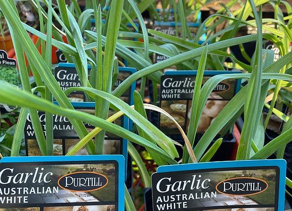 Garlic-100mm pot