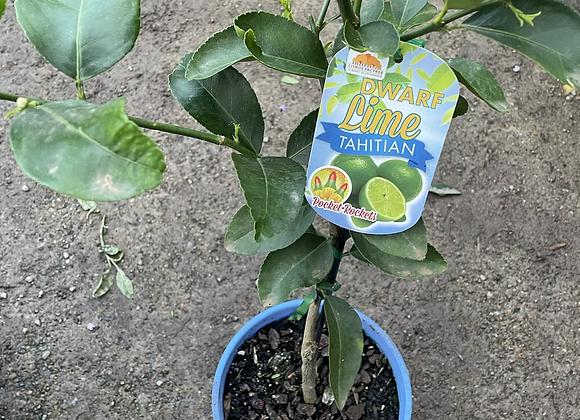 Tahitian Lime - DWARF 20cm pot
