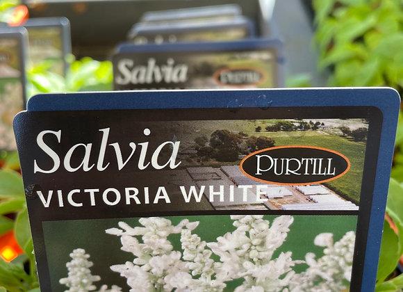 Salvia - Victoria White punnet