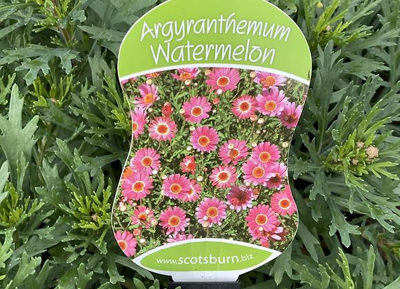 Argyranthemum - Watermelon 200mm pot