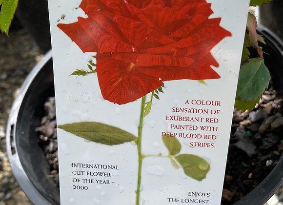 Bush Rose  - Red Intuition DELBARD 20cm pot