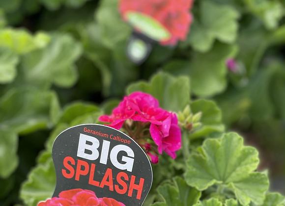 Geranium - Big Splash