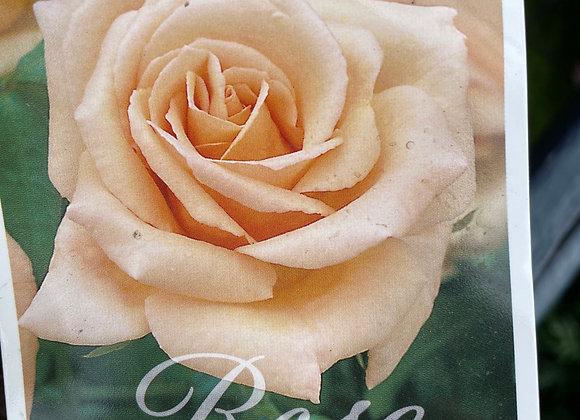 Bush Rose -  Apricot Nectar 20cm pot