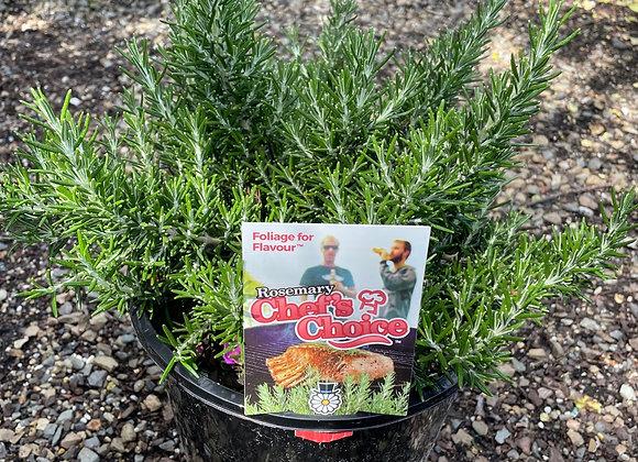 Rosemary - Chef's Choice 200mm pot