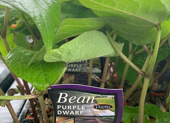 Bean - Purple Dwarf punnet