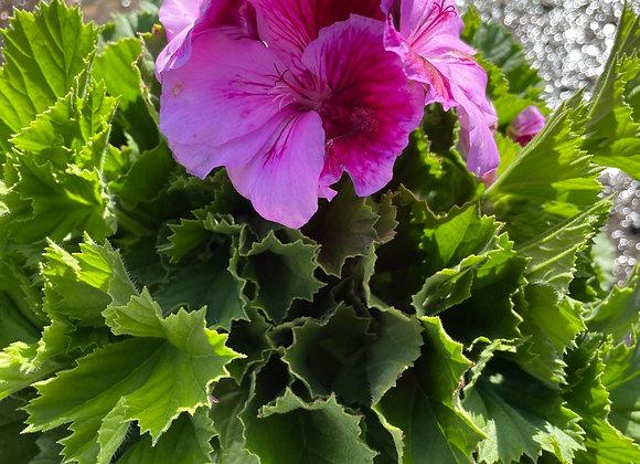 Pelargonium - Elegance Judith 18cm pot