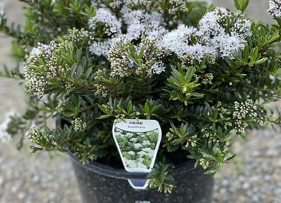Hebe Buxifolia 200mm pot