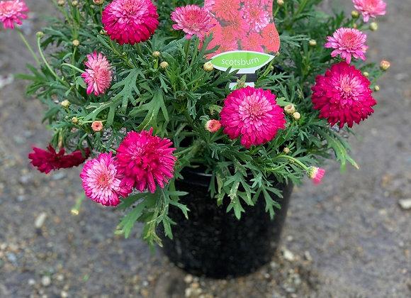 Argyranthemum - various