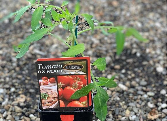 Tomato - Oxheart ADVANCED