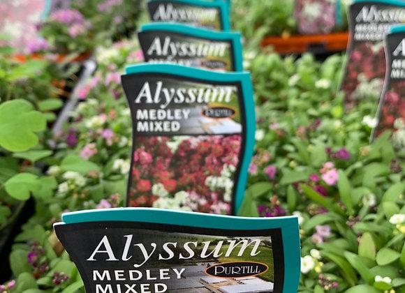 Alyssum - Medley Mixed