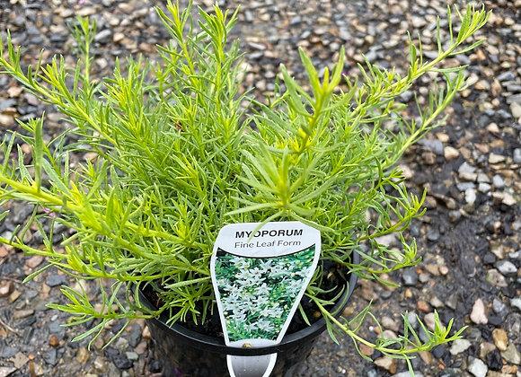 Myoporum Fine Leaf White 14cm pot
