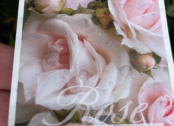 Groundcover Rose  - Many Happy Returns 20cm pot