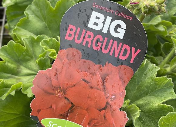 Geranium - Big Burgundy