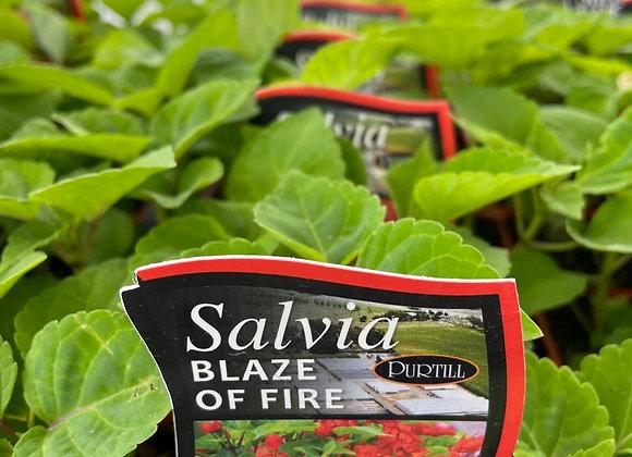 Salvia - Blaze of Fire punnet