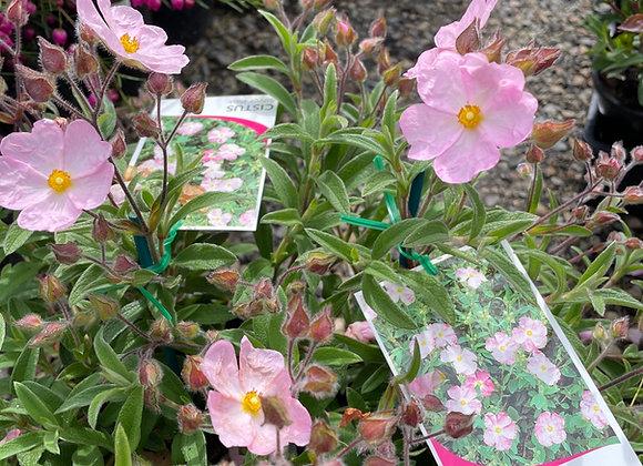 Rockrose - Cistus Silver Pink 14cm  pot