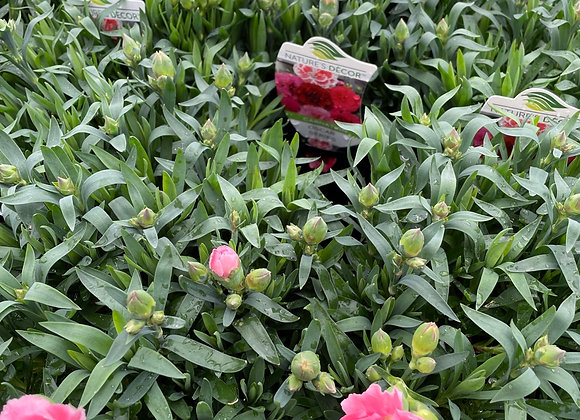 Carnation - Oscar Pink