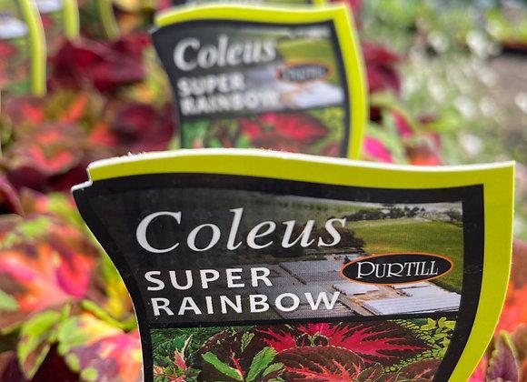 Coleus - Super Rainbow