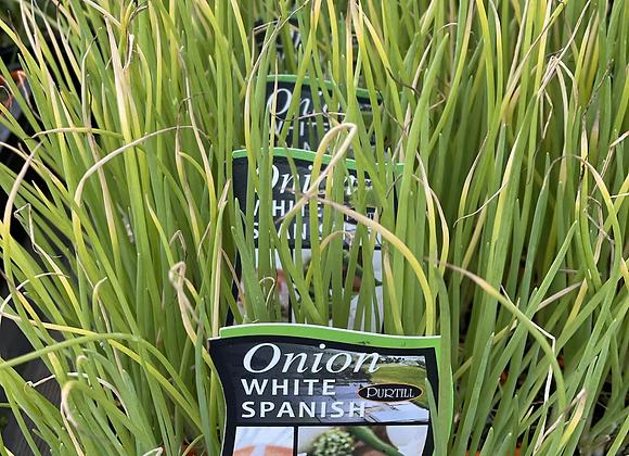 Onion-White Spanish