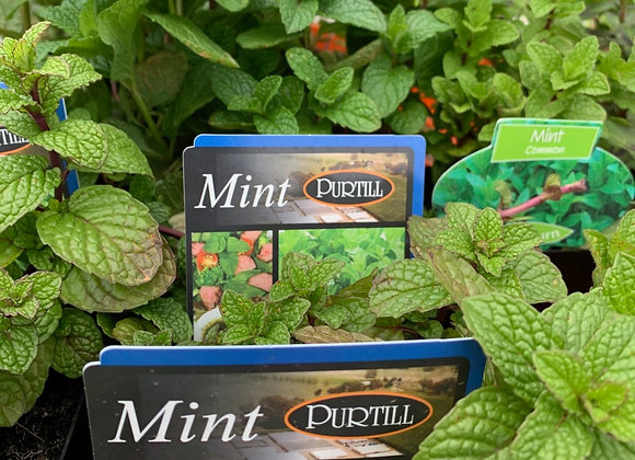 Mint common 100mm pot