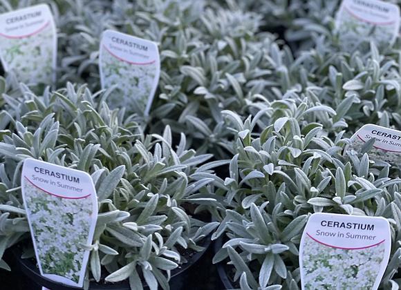 Cerastium - Snow in Summer