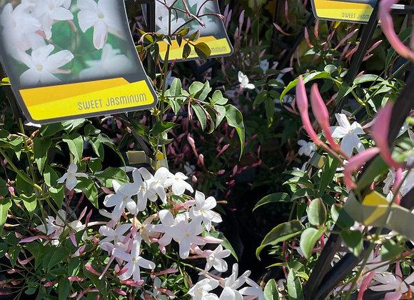 Jasminum Polyanthem Highly perfumed 14cm pot