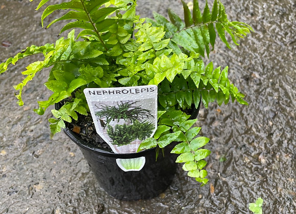 Boston Fern - ideal hanging basket plant for indoors or shady outdoors 14cm pot