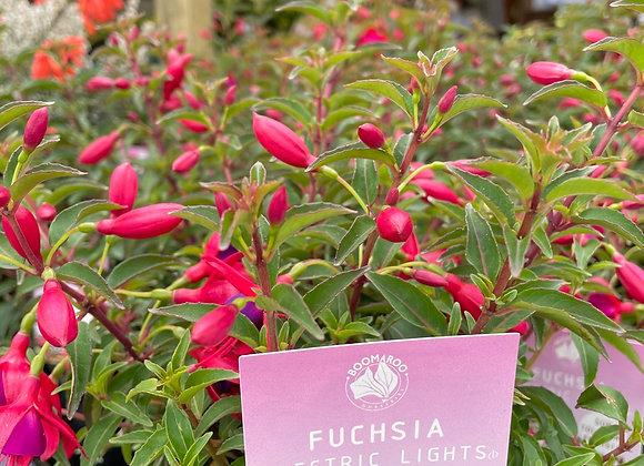 Fuchsia - Electric Lights 14cm  pot